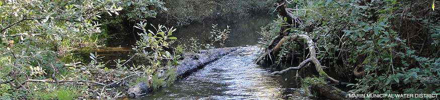 Lagunitas Creek. A small stream bordered by vegetation. Photo courtesy of Marin Municipal Water District.