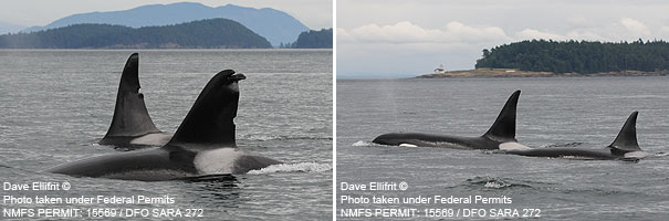 Two pictures of orcas: T125A & T127 (left) and T128 & T125 (right). Photos taken at Boundary Pass north of the San Juan Islands, Washington. © Dave Ellifrit. Photos taken under Federal Permits NMFS PERMIT: 15569 / DFO SARA 272.