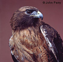 Redtail Hawk © John Perry