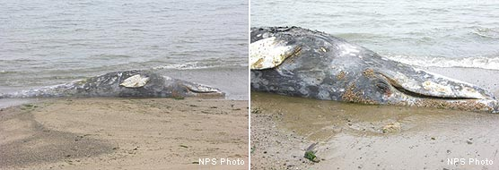 Dead Gray Whale Near Chimney Rock Boathouse