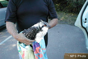 Emaciated and dehydrated immature osprey found on the Bear Valley Trail.