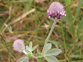 Showy Indian Clover (Trifolium amoenum). Photo credit USFWS.