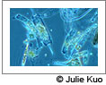 Micro algae. Image courtesy Julie Kuo. Click on this image to view the Soundslides presentation.