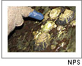 Gloved finger pointing at Olympia oysters. Click on this image to view the Soundslides presentation.