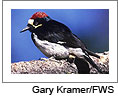 Acorn Woodpecker. Photo courtesy of Gary Kramer/USFWS. Click on this image to view the Soundslides presentation.