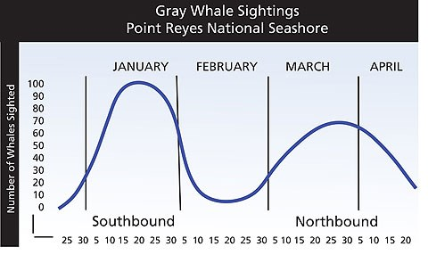A graph illustrating the average daily numbers of gray whales sighted from the Point Reyes Lighthouse from December through April.