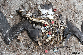 A carcass of an albatross that died from ingesting too much plastic. USFWS.