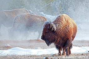 Bison on a snowy day in Yellowstone National Park. © Darby Hayes.