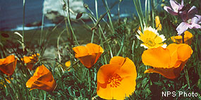 California poppies with a tidytips and checkerbloom.