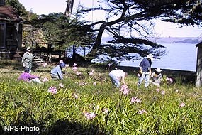 Volunteers removing cape ivy