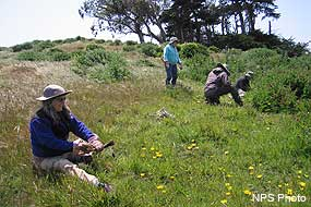 Volunteers removing capeweed at Tomales Point.