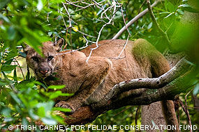 Mountain lion in a tree. © Trish Carney for Felidae Conservation Fund.