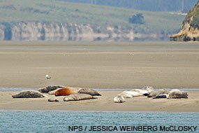 Harbor seals on a sandbar near the mouth of Drakes Estero. April 13, 2011.