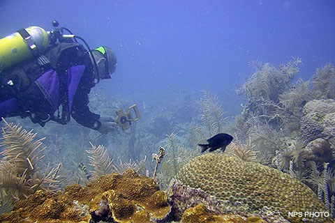 A SCUBA diver and a black fish swim above corals. The diver holds a measuring tape.