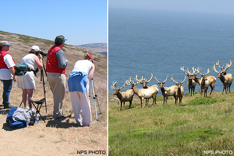 Tule elk docents and visitors watching tule elk at Windy Gap on Tomales Point.
