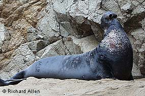 Elephant Seal Bull © Richard Allen