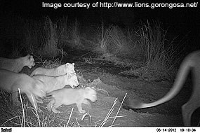 Lion cubs in Gorongosa National Park following mother. Black and white photo taken by a wildlife monitoring camera at night. Image courtesy of http://www.lions.gorongosa.net/