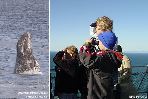 (L) A gray whale starting a breach and (R) whale watchers at the Lighthouse Observation Deck.