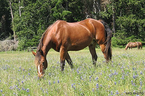 The Morgan horse Honcho grazing in a field.