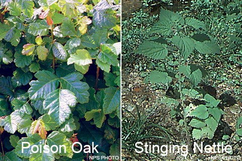 Two photos: (Left) Many glossy green loabed leaflets. (Right) A plant with large, serrated leaves.