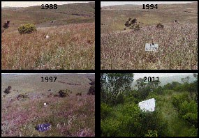 Rangeland succession: four photos that depict an increase in shrub abundance over time at a site that was taken out of grazing on Bolinas Ridge (1988, 1994, 1997, & 2011).