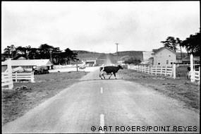 """Cow Crossing – Spaletta Ranch 1975"" © Art Rogers. Photograph of a cow crossing Sir Francis Drake Boulevard at the Spaletta Ranch."