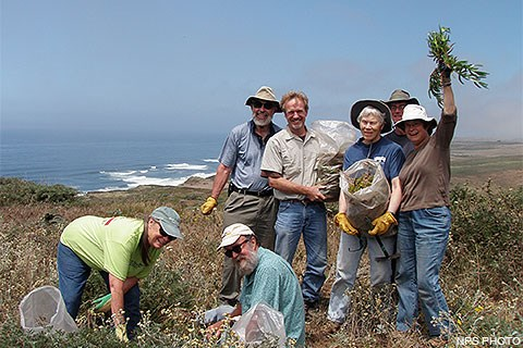 Seven volunteers removing non-native ice plant.