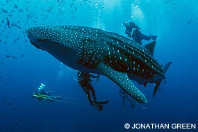 Researchers tagging and measuring a whale shark off Darwin Arch in the Galapagos Islands. © Jonathan Green.