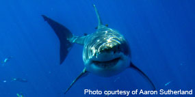 White shark Photo Courtesy of Aaron Sutherland