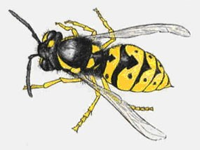 Yellow jacket.