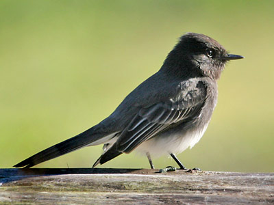 http://www.nps.gov/prsf/naturescience/images/black-phoebe.jpg