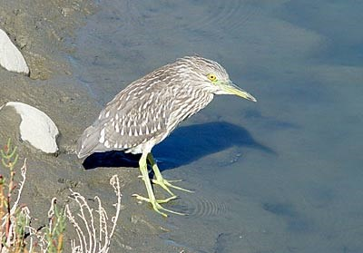 blackcrown night heron