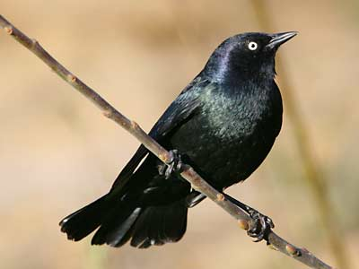 Presidio of San Francisco - Brewer's Blackbird (U.S. National Park ...