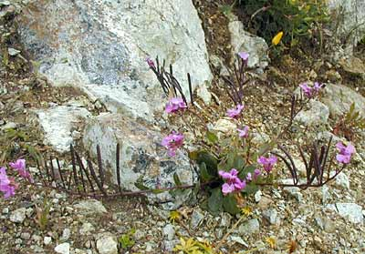 Coast Rock Cress