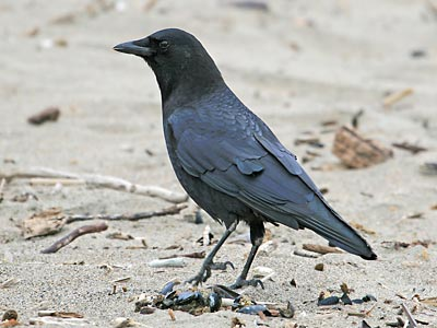 http://www.nps.gov/prsf/naturescience/images/crow.jpg