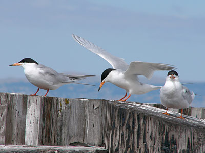 Forster,s terns