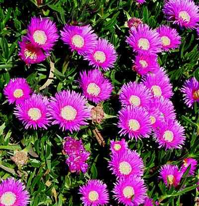 Ice Flower Plant Ice Plant