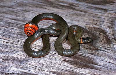 Pacific Ringneck Snake