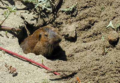 Valley Pocket Gopher