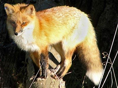 Red Fox Presidio Of San Francisco U S National Park