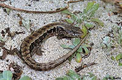 San Francisco Alligator Lizard