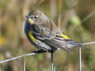 Yellow-rumped Warbler - Presidio of San Francisco (U.S ...