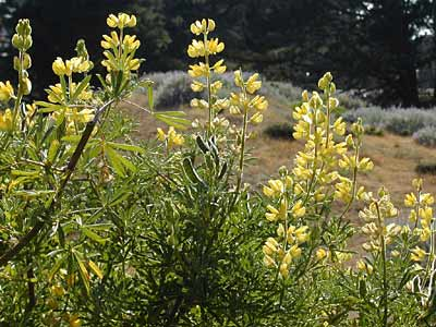 Yellow Bush Lupine Presidio Of San Francisco U S