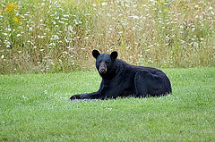 Black bear laying on a grassy field