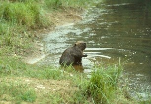 Beaver by the creek