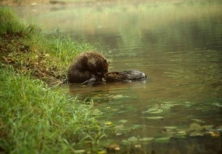 Mother beaver and her baby