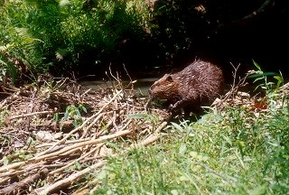 Beaver near its lodge