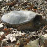 snapping turtle in leaves