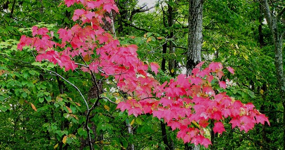 a red maple tree with a few red leaves surrounded by greenery