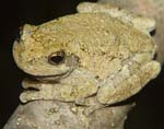 Cope's gray tree frog on stick